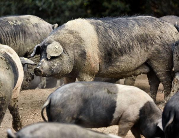 Cinta Senese pigs; Massanera, San Casciano in Val di Pesa, (Florence), Italy